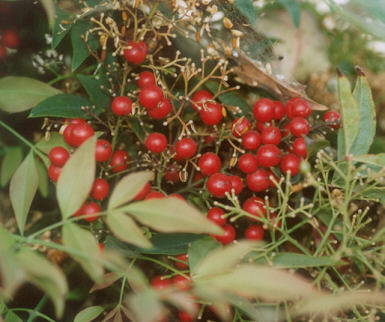 Picture of Nandina domestica