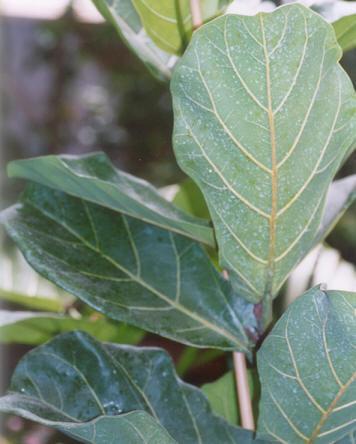 Picture of Ficus lyrata