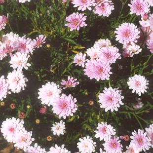 Picture of Chrysanthemum hybrid