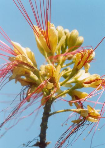 Picture of Caesalpinia gilliesii