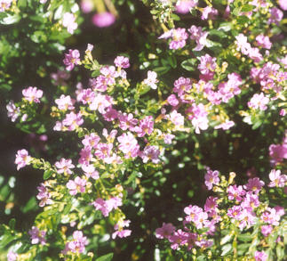 Picture of Cuphea hyssopifolia