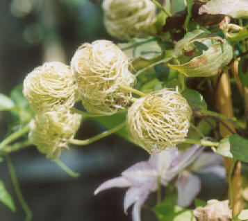 Picture of Clematis sp.