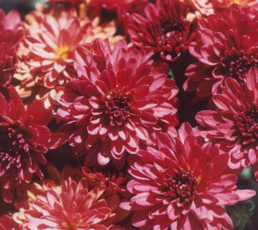 Picture of Chrysanthemum x morifolium