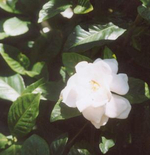 Picture of Gardenia augusta