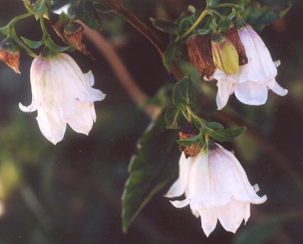 Picture of Campanula medium