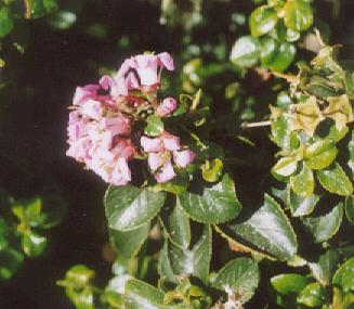 Picture of Escallonia laevis
