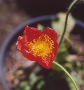 Picture of Papaver nudicaule