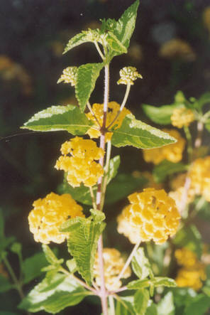 Picture of Lantana hybrid