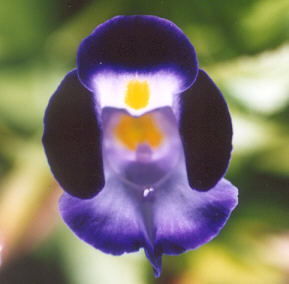 Picture of Torenia fournieri