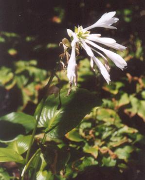 Picture of Hosta plantaginea