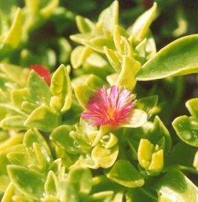 Picture of Aptenia cordifolia