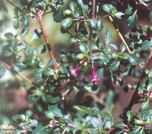 Picture of Fuchsia thymifolia