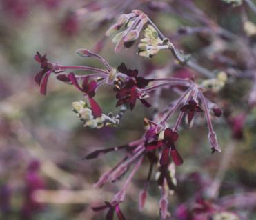 Picture of Pelargonium sidoides