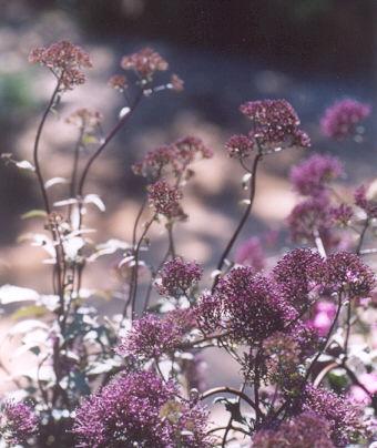 Picture of Trachelium caeruleum