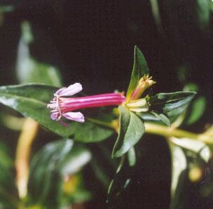 Picture of Cuphea ignea