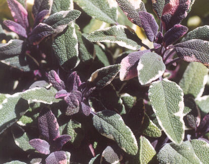 Picture of Salvia officinalis