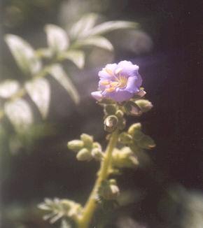 Picture of Polemonium boreale