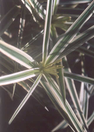 Picture of Carex phyllocephala