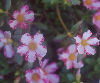 Picture of Portulaca oleracea