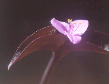 Picture of Tradescantia pallida
