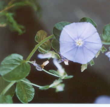 Picture of Convolvulus sabatius