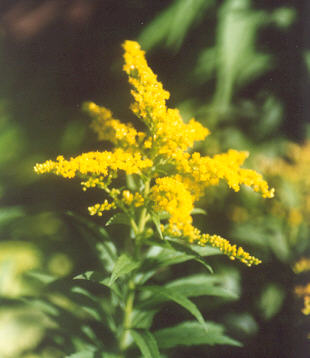 Picture of Solidago canadensis