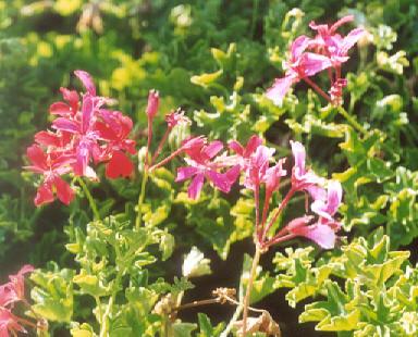 Picture of Pelargonium peltatum