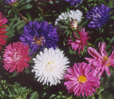 Picture of Aster sp.