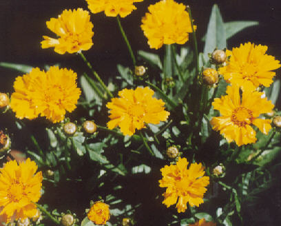 Picture of Coreopsis grandiflora