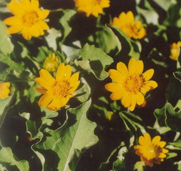 Picture of Chrysanthemum paludosum