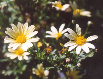 Picture of Chrysanthemum frutescens