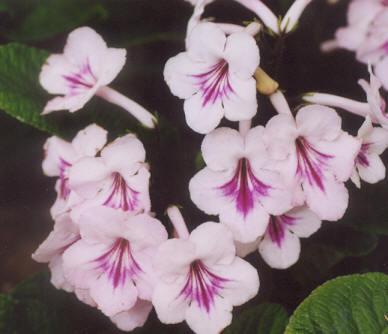 Picture of Streptocarpus