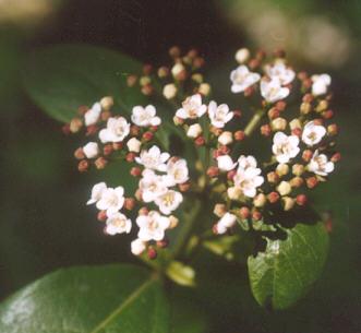 Picture of Viburnum davidii