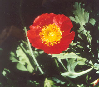 Picture of Papaver