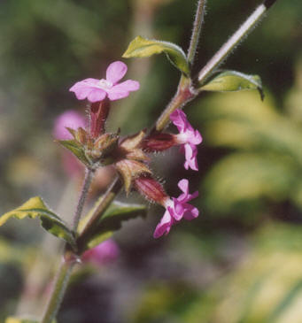 Picture of Silene dioica