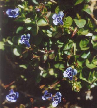 Picture of Lindernia grandiflora
