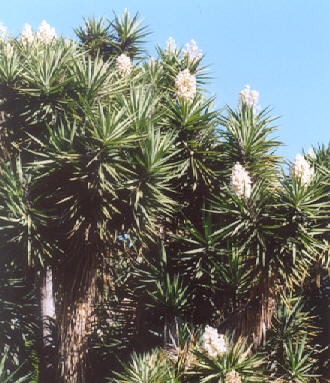 Picture of Yucca elephantipes