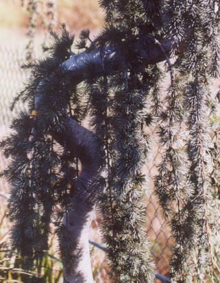Picture of Cedrus atlantica