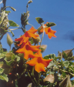 Picture of Thunbergia gregorii