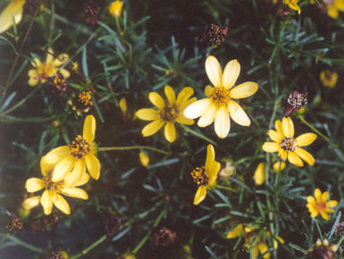 Picture of Coreopsis verticillata