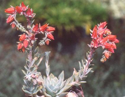 Picture of Echeveria x imbricata