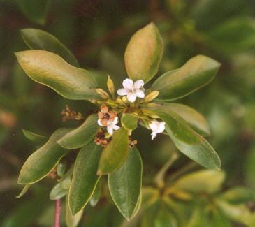 Picture of Myoporum laetum