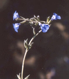 Picture of Salvia chamaedryoides