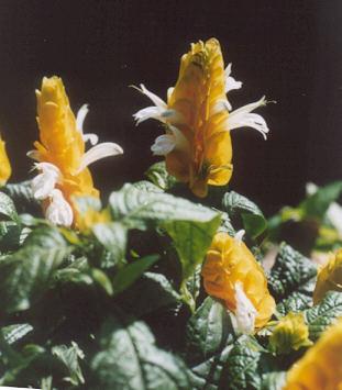 Picture of Pachystachys lutea