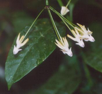 Picture of Hoya multiflora