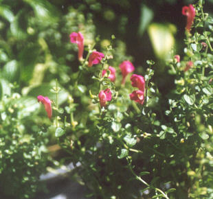 Picture of Scutellaria suffrutescens