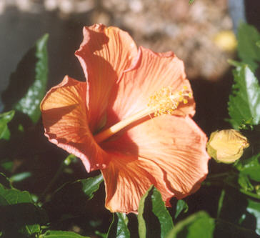 Picture of Hibiscus rosa-sinensis