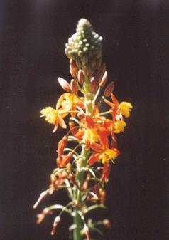 Picture of Bulbine frutescens