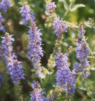 Picture of Agastache