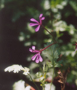 Picture of Pelargonium ionidiflorum